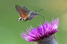 N Hummingbird Hawk-moth (Macro...