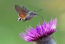 N Hummingbird Hawk-moth (Macroglossum Stellatarum) Feeding Nectar.