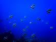 canvas print picture - School of Tropical Striped Fish Underwater in Blue