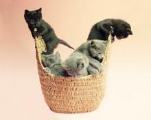 5 Kittens In A Wicker Basket T...