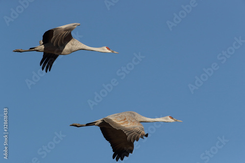 Sandhill Crane Bosque del Apache Wildlife Reserve New Mexico USA Canvas Print