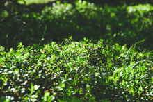 Dense Thickets Of Bushes, Gree...