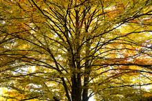 Oak Tree In Autumn Time View F...