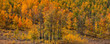 Panoramic view of bright autumn trees in San juan mountains.