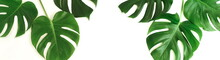 Tropical Green Monstera Leaves...