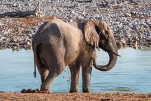 Elephant Mud Bathing, Spraying...