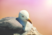 Portrait Of A Seagull On A Pin...