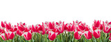Fototapeta Tulipany - Tulips pink and white flowers with green leaves isolated on white background. Horizontal copy space. Panoramic format
