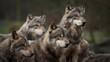 Les loups gris