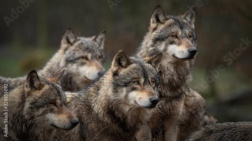 Obraz na płótnie Les loups gris