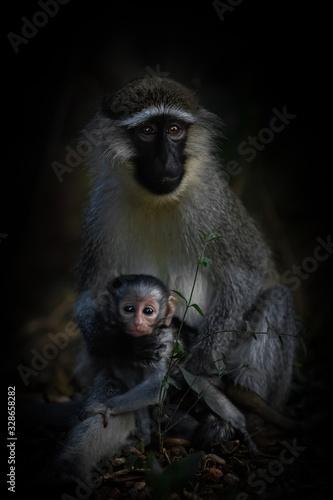Vászonkép Vervet monkey (Chlorocebus pygerythrus) female holding infant looking at the camera, Murchison Falls, Uganda