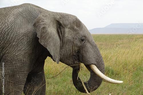 Photo Loxodonta africana