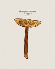 Amanita Gemmata, Commonly Known As The Gemmed Amanita Or The Jonquil Amanita, Is An Agaric Mushroom. Hand Draw Sketch Vector.