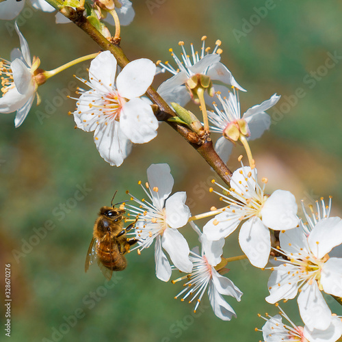 Photo Abeille buttinant une fleur blanche de pommier au printemps