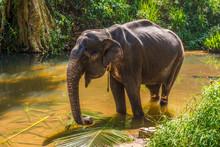 View At The Asian Elephant (Elephas Maximus) In Sri Lanka