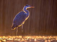 Silhouette Of Grey Heron Hunti...