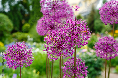 Photo Giant Onion (Allium Giganteum) blooming