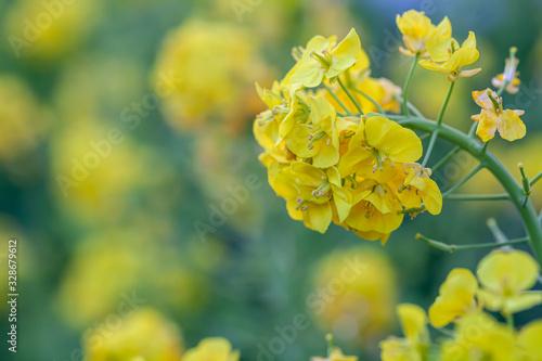Obraz na plátně 菜の花