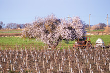 Fruit Tree In Bloom On A Newly...