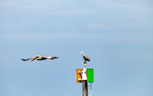 A Pelican Flies Past Another Pelican Which Is Sitting Atop A Channel Marker