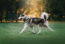 Happy Siberian Husky Dog Walki...