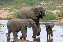 Mother And Two Young Elephants