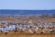 Migratory Cranes And Swans Resting In A Field In The Spring