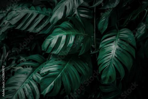 monstera-zielone-liscie-lub-monstera-deliciosa-w-ciemnych-odcieniach-tle-lub-zielone-lisciaste-tropikalne-lasy-sosnowe-do-kreatywnych-elementow-tekstury-monodera-philodendron