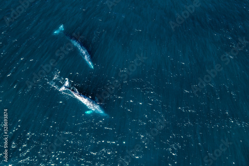grey whale in Mexico Baja California aerial drone view panorama