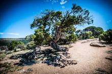 Twisty Tree In Desert