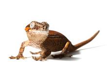 Gargoyle Gecko Isolated On Whi...