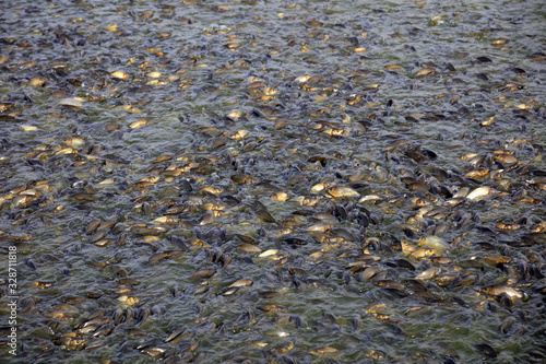 A large number of crucian carps are in the fish pond Wallpaper Mural