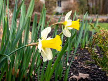 First Daffodils Blooming In Th...