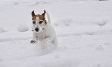 Jack Russell Terrier Jumping I...