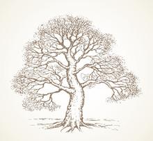 Tall Oak In Winter. Vector Drawing