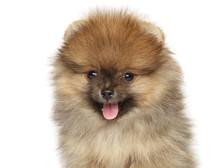 Close-up Of A Happy Pomeranian...