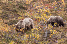 Pair Of Grizzly Bears In Denali National Park Alaska In Autumn