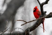 A Bright Red Cardinal Bird Is ...