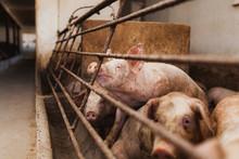 Pigs Pigs Farming At Livestock...