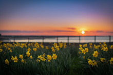Yellow Daffodils With Sunset B...