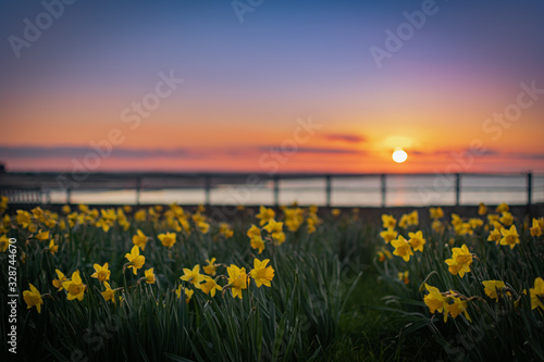 Yellow daffodils with sunset background Tableau sur Toile