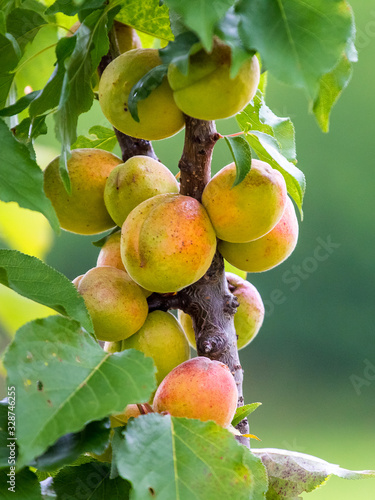 Photo Ripe juicy apricots on the tree. Orchard_