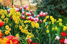 Multi-colored Tulips And Daffo...