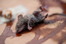 Dead Mouse On Poison Emitting ...