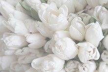 White Tulips On The Grey Background, Close-up.