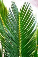 Un Palmier Bien Vert