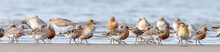 Lesser Knot In New Zealand