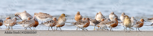Photo Lesser Knot in New Zealand