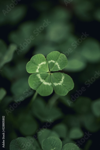 Good luck four leaf clover standing out from a field of clovers. Unique, rare, or special individual concept.