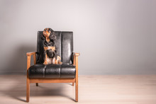A Classy Cavalier King Charles Spaniel Poses For A Professional Pet Photo Shoot, Sitting In A Black Leather Chair. Gray Background Wall. The Dog Looks Up, Alert.